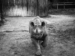 Rhinoceros:Port Lympne (cngphotographic) Tags: portlympne safari parkkent england britain uk great rhinoceros africa animaloutside outdoor outdoors nature blackandwhite fujifilm hs50exr linux opensource gimp wildlife charge action animal outside spring southeast gb