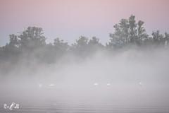 Preening swans in early morning light (Renate van den Boom) Tags: 09september 2018 biesbosch boom europa jaar knobbelzwaan landschap maand mist natuur nederland noordbrabant renatevandenboom vogels water weer zon zonsopkomst