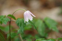 Le bonnet...de pluie (passionpapillon) Tags: macro fleur flower sousbois goutte pluie rain anémonesylvie passionpapillon 2019 ngc npc