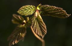Naissance au soleil du matin (mrieffly) Tags: macro bokeh feuilles canoneos50d printemps