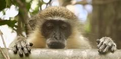 Barbados Wildlife Reserve (mikeginn12000) Tags: monkey greenmonkey barbados wildlife reserve canon