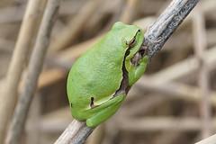 Hyla arborea (xav.heckmann) Tags: rainette treefrog laubfrosch hylidae ilce7 sel90m28g munchhausen sauer europeantreefrog hylaarborea laubfresch