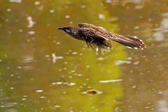 Wattlebird (Rodger1943) Tags: wattlebirds redwattlebird australianbirds sonyrx10m4 birdsinflight faunainmotion