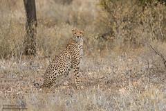 Cheetah - Acinonyx jubatus (rosebudl1959) Tags: 2019 kenya samburu cheetah elephantbedroomcamp