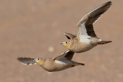 Spotted Sandgrouse (Phil Gower Bird Photography) Tags: spotted sandgrouse bird nature wildlife
