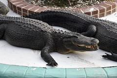 DSC6859 (Starcadet) Tags: orlando alligator krokodil gator gatorland florida glades sumpf zoo hunger tiere fressen nilkrokodil aufzuchtstation