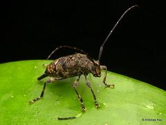 Longhorn beetle, Cerambycidae (Ecuador Megadiverso) Tags: andreaskay beetle cerambycidae coleoptera ecuador jardinbotanicolasorquideas longhornbeetle puyo acanthocinini