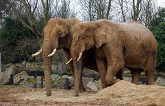 African Elephant - Loxodonta africana (emilyphillips10) Tags: africanelephant loxodontaafricana elephant colchesterzoo