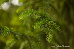 Spruce (Anna Calvert Photography) Tags: australia canberra flora floral flowers garden landscape macro macrophotography mygarden nature outdoors petals plants spruce trees
