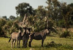 Zebra (selvagedavid38) Tags: zebra wildlife okavangodelta africa botswana safari animal stripes black white