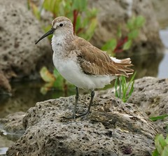 Curlew Sandpiper (oliverred) Tags: coth naturethroughthelens fantasticnature coth5
