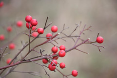 Red Berries in December (kellimont) Tags: outdoors eufaula nikon5600 nikond5600 nikonphotography nikon redberries red macrophotography nature macro berries