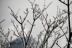 La Pluie Verglaçante ... Freezing Rain (Bob (sideshow015)) Tags: storm ice branches tree winter naturebeauty tempête glace arbre hiver beautédelanature black white noir blanc mississauga ontario canada