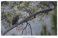 Griffon vulture (T@hir'S Photography) Tags: z6 nikon 1400 640 griffon vulture rare migration pakistan forest resting