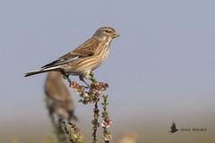 Pardillo común (Linaria cannabina) (jsnchezyage) Tags: pardillocomún linariacannabina ave pájaro bird birding birdwatching ornithology beak feather linnet