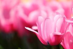 Tulip (Teruhide Tomori) Tags: japan japon kyoto flower plant spring 花 京都 京都府立植物園 日本 春 植物