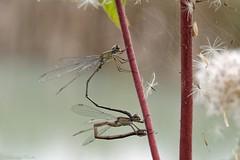 Leste vert (Chalcolestes viridis) (bernard.ruelle) Tags: 6900marcheenfamenne luxembourg belgium
