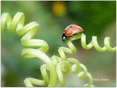 Her satnav was second-hand... :-) (Explored) (Nadine V.) Tags: coccinellidae beetle kever coccinelle ladybird ladybug lieveheersbeestje macro lumix panasonic panasonicdmcfz200 insect dmcfz200 explore