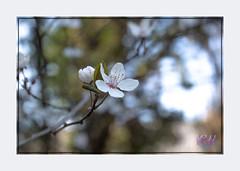 Blossom (kishwphotos) Tags: shrub fitzherbertwalk naturalworld whiteflower london plants naturalhistory blackthorn river hanwell riverbrent city shrubs faunaandflora blossom brook canal geology gorge nature stream