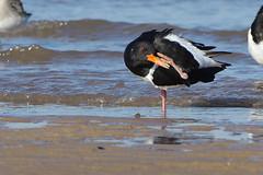 K32P7453a Oystercatcher, Titchwell Beach, February 2019 (bobchappell55) Tags: titchwell marsh norfolk wild bird wildlife nature wader oystercatcher haematopusostralegus