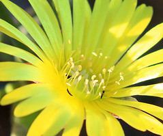 Wild flowers - Macroland - South Africa (lotusblancphotography) Tags: africa afrique southafrica nature plant plante flower fleur yellow jaune