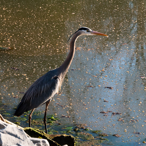 heron and bubbles