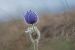 Pulsatilla grandis (Torok_Bea) Tags: pulsatilla grandis pulsatillagrandis kökörcsin leánykökörcsin nikon nikond7200 natur nature nikond amazing sigma105 sigma sigma105mm sigmalens spring wonderful bestflowers bestflower pasqueflower flower flowers