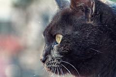 Spuntarello (Pepenera) Tags: cat cats gatto gato gatti black blackbeauty blackcat portrait ritratto