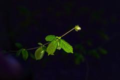das erste Grün (Maik Kregel) Tags: maikkregel sony a6500 grün blatt blattgrün spring frühling