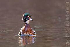 Mr. Wood Duck (ThruKurtsLens.com) Tags: 2019 flying kurtwecker nature naturephotographer spring talons thrukurtslenscom wildlifephotographer wildlifephotography