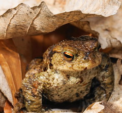 Common toad (SonyLeo) Tags: commontoad sonyilce7m2 sonya7m2 sonyfe90mmf28goss fe90mmf28goss pringlesdiffuser bufobufo