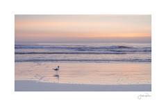Waiting for Breakfast (jrobfoto.com) Tags: a7rii alpha beach fullframe jacksonville jacksonvillepier raw sand sony sunrise jacksonvillebeach florida unitedstatesofamerica us
