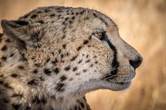Cheetah Profile (helenehoffman) Tags: africa kenya conservationstatusvulnerable felidae acinonyxjubatus mammal feline cheetah carnivore bigcat lewawildlifeconservancy nature animal alittlebeauty coth coth5