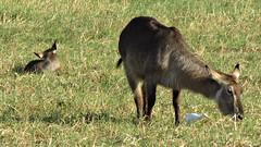 Botswana Antelope of some sort (h0n3yb33z) Tags: botswana animals wildlife chobenationalpark antelope africa