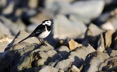 Pied Wagtail. (Chris Kilpatrick) Tags: chris canon canon7dmk2 outdoor wildlife nature stones douglas beach isleofman piedwagtail bird newyearsday sigma150mm600mm january