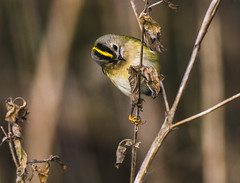 goldcrest (alderson.yvonne) Tags: bird teesside goldcrest woodland yellow feathers twig small smallest uk yvonne