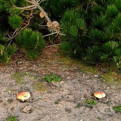 it's a smurfy world (citizensunshine) Tags: california cali trail pine needles cone pinecone mushroom fungus smurf polkadot polkadotted