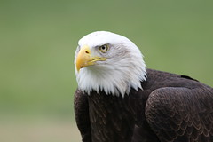 IMG_1456 (Stefan Kusinski) Tags: hemsley duncombe ncbp birdofprey