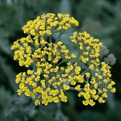 Yellow yarrow flowers, December (Dave_A_2007) Tags: flower nature plant yarrow stratfordonavon warwickshire england