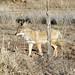 Coyote (Yavapai County, Arizona)