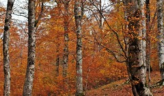 Autunno nei boschi (Gigliola Spaziano) Tags: faggeta bosco autunno foglie explore
