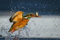 Ice Kingfisher catch (2 of 2) (andy_harris62) Tags: inexplore explored kingfisher kingy ice splash outdoors wildlifephotography nikon nikond850 nikkor300mmf28 bird bif birdinflight water sky colourful action hanks chaps al