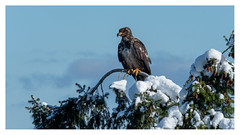this morning's snow and blue skies (marneejill) Tags: juvenile bald eagle french creek bc