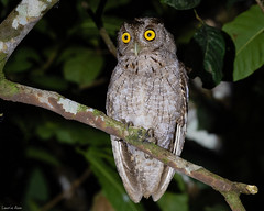 In the Dark (Digital Rebels) Tags: pacificscreechowl canonegro costarica wwwphototourtrekkerscom phototourtrekkers night eyes yellow tropical dark tree bird avian owl l llfb nikon pf300