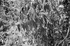 Leaves (Matthew Paul Argall) Tags: canonsnappy20 fixedfocus 35mmfilm blackandwhite blackandwhitefilm kentmere100 100isofilm leaves leaf