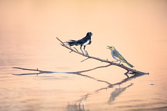 The Wagtail and the Honeyeater (Kristian Bell) Tags: willie wagtail white plumed honey eater perched stick twig agape dam reflection still calm wildlife wild animals birds sony kris kristian bell australia nsw