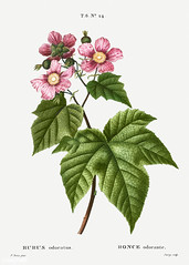 Purple-flowered raspberry (Rubus odoratus) illustration from Tra (Free Public Domain Illustrations by rawpixel) Tags: freeimage pierre redoute redouté antique art botanical branch cc0 creativecommons0 drawing element engraved engraving environment fineart flora floral flower flowered floweringraspberry graphic graphite historic historical history illustrated illustration leaf name nature odoratus painting pierrejoseph pierrejosephredouté plant publicdomain purple purplefloweringraspberry raspberry retro ronceodorante rubus rubusodoratus sketch sketching traitédesarbresetarbustes tropical vintage