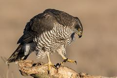 Accipiter gentilis (Oliveira Pires) Tags: accipitergentilis açor azor northerngoshawk