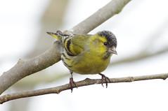K32P4392a Siskin, Lackford Lakes, February 2019 (bobchappell55) Tags: wild bird wildlife nature lackfordlakes suffolk siskin woodland carduelisspinus