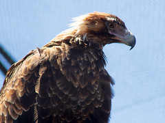 Wedge-tailed Eagles (Howie.D.) Tags: wildlife sanctuary moonlitsanctuary australia wedgetailed eagle